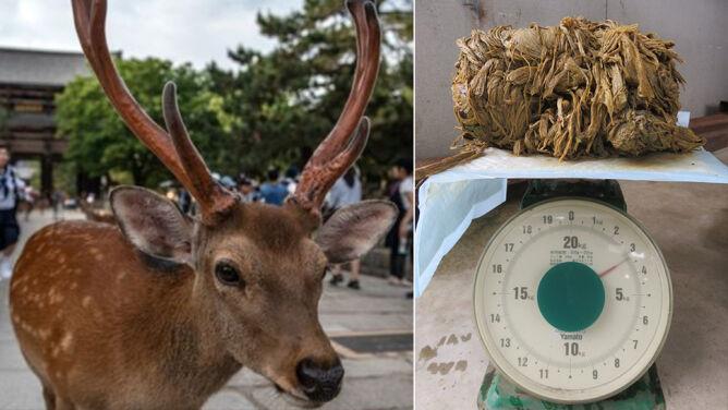Święte jelenie Japończyków padają