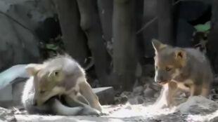 Pokazali światu małe wilki meksykańskie. To gatunek krytycznie zagrożony